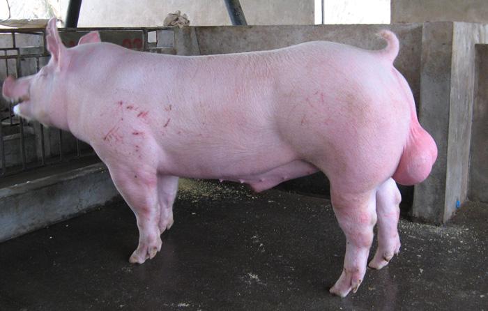 用同一头大白公猪和两头长白母猪的猪仔能配种吗